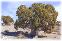Juniper trees are among the most common in New Mexico.